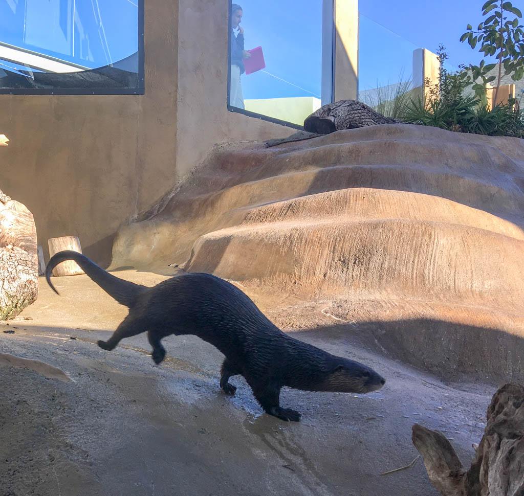 Romping Sea Otter