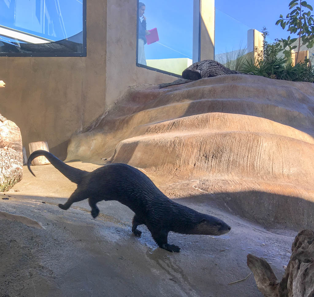 Romping Sea Otter