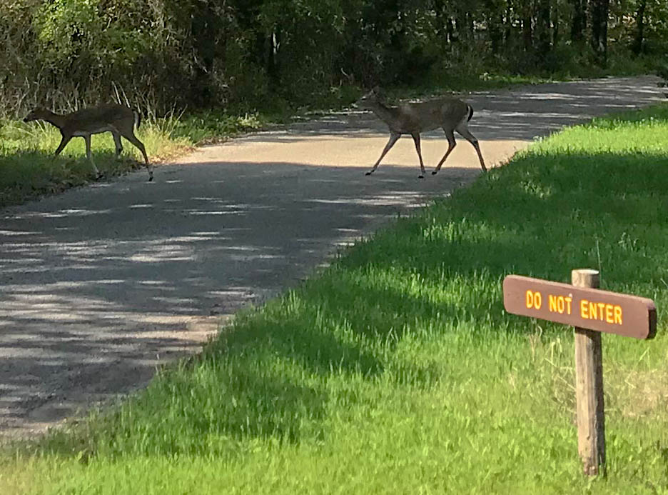 Deer Crossing Road At Camping Loop Exit