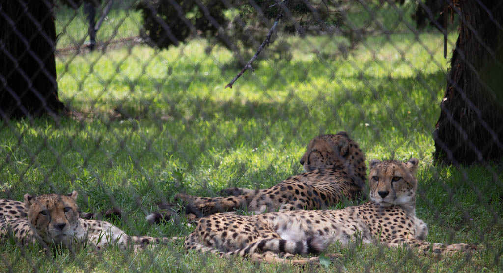 Three Cheetahs Sharing A Single Enclosure