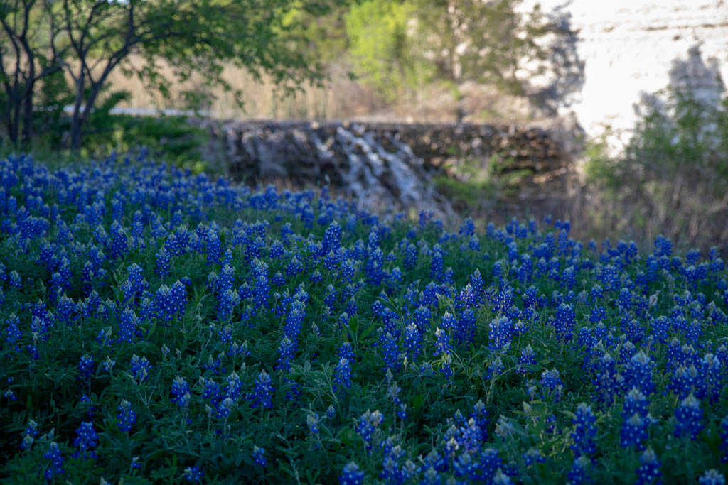 Bluebonnets Above The Spillway