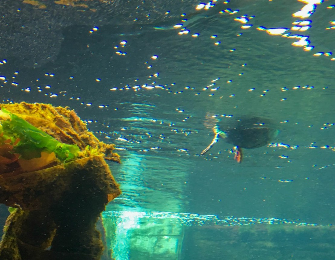 Underwater View Of Swimming Seabird