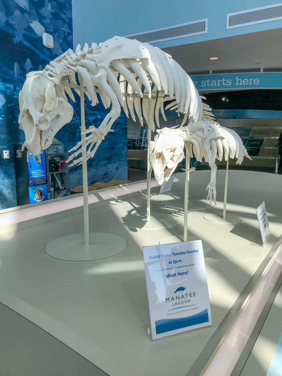 Manatee Lagoon FPL Eco-Discovery Center Manatee Skeletons