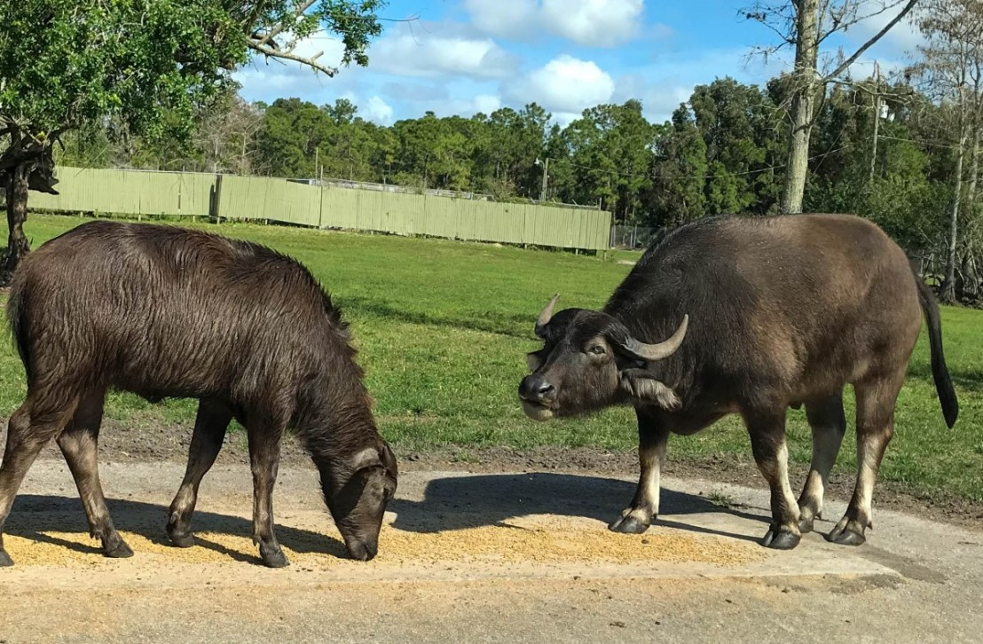 Asiatic Water Buffalo