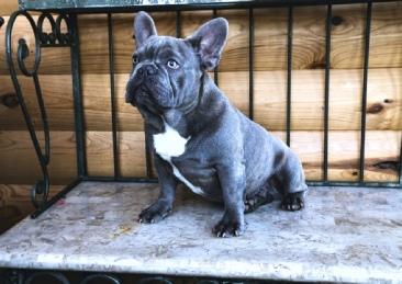 The French Bulldog Sire
