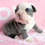 Male Lilac French Bulldog