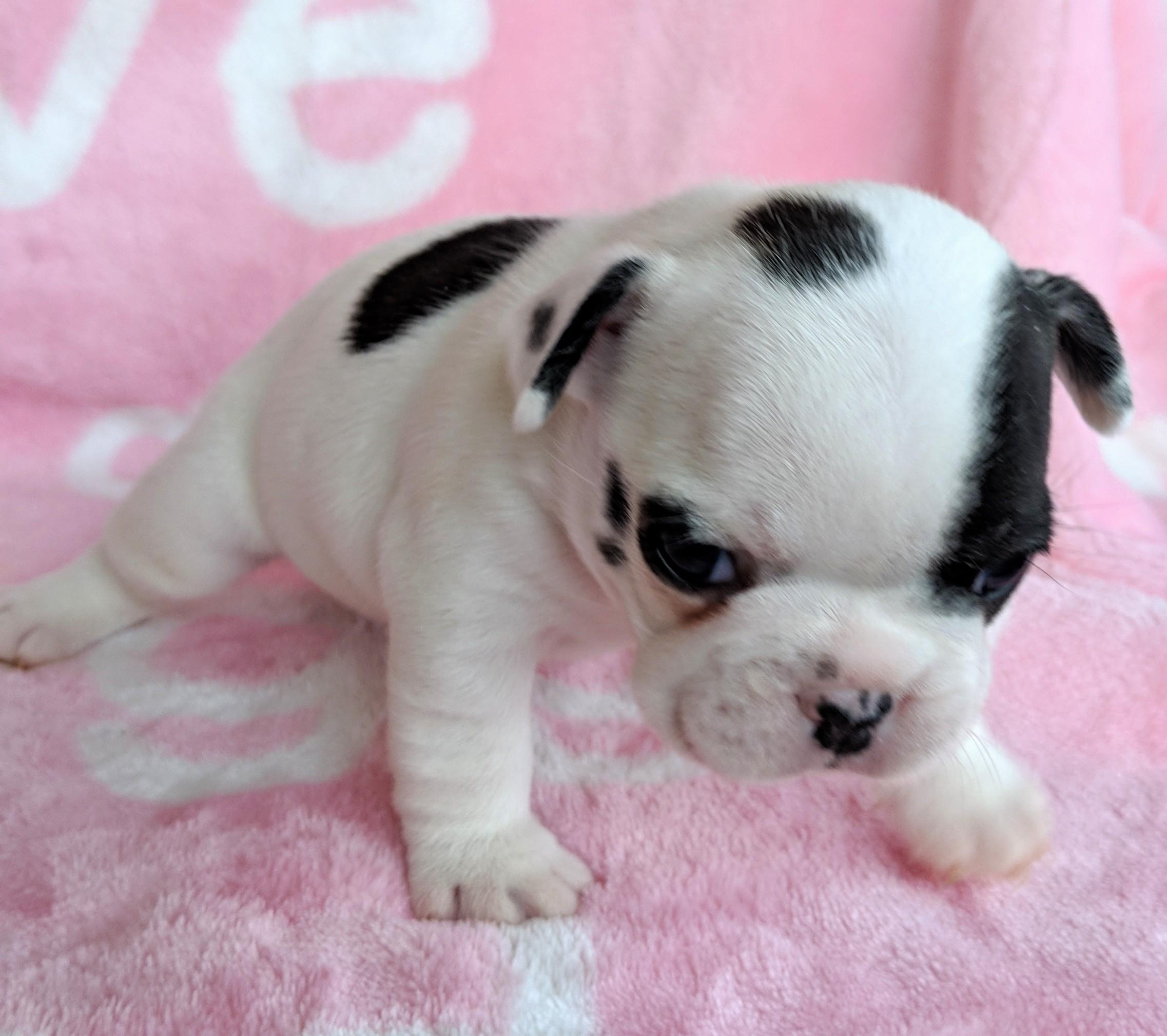 Female Pied French Bulldog Puppy