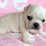 Female Cream French Bulldog