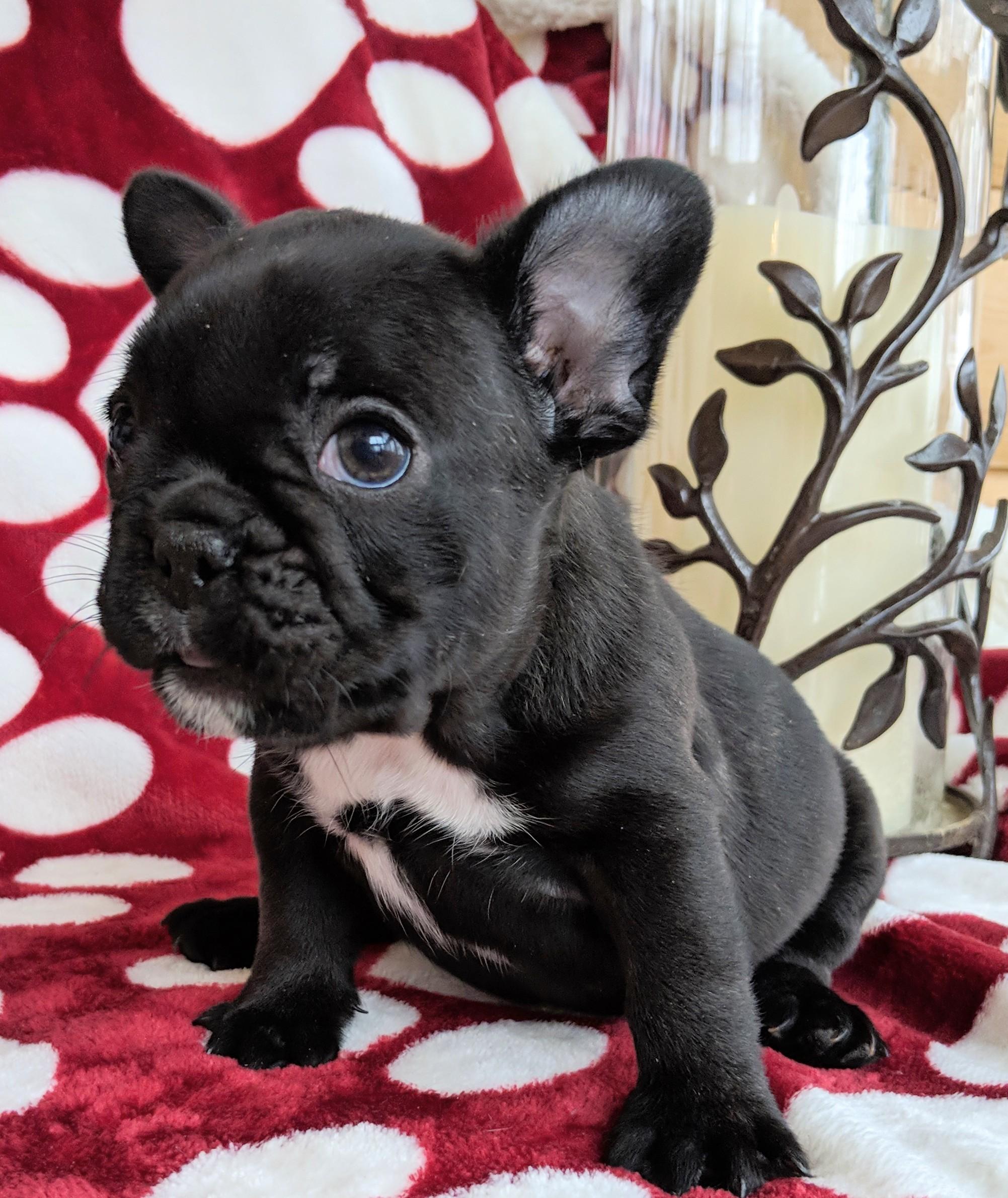 Female Brindle French Bulldog