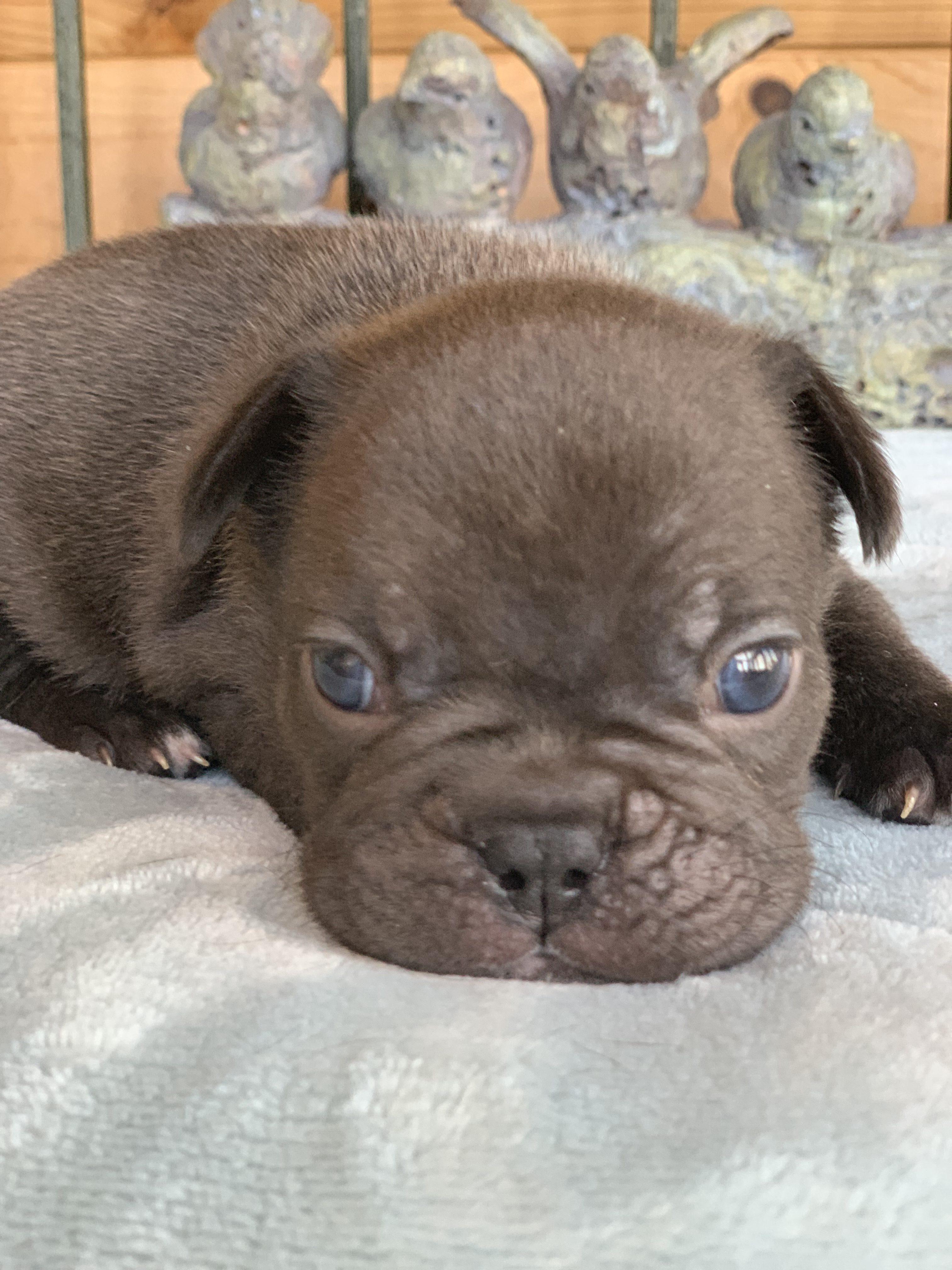 Fievel Chocolate French Bulldog Male
