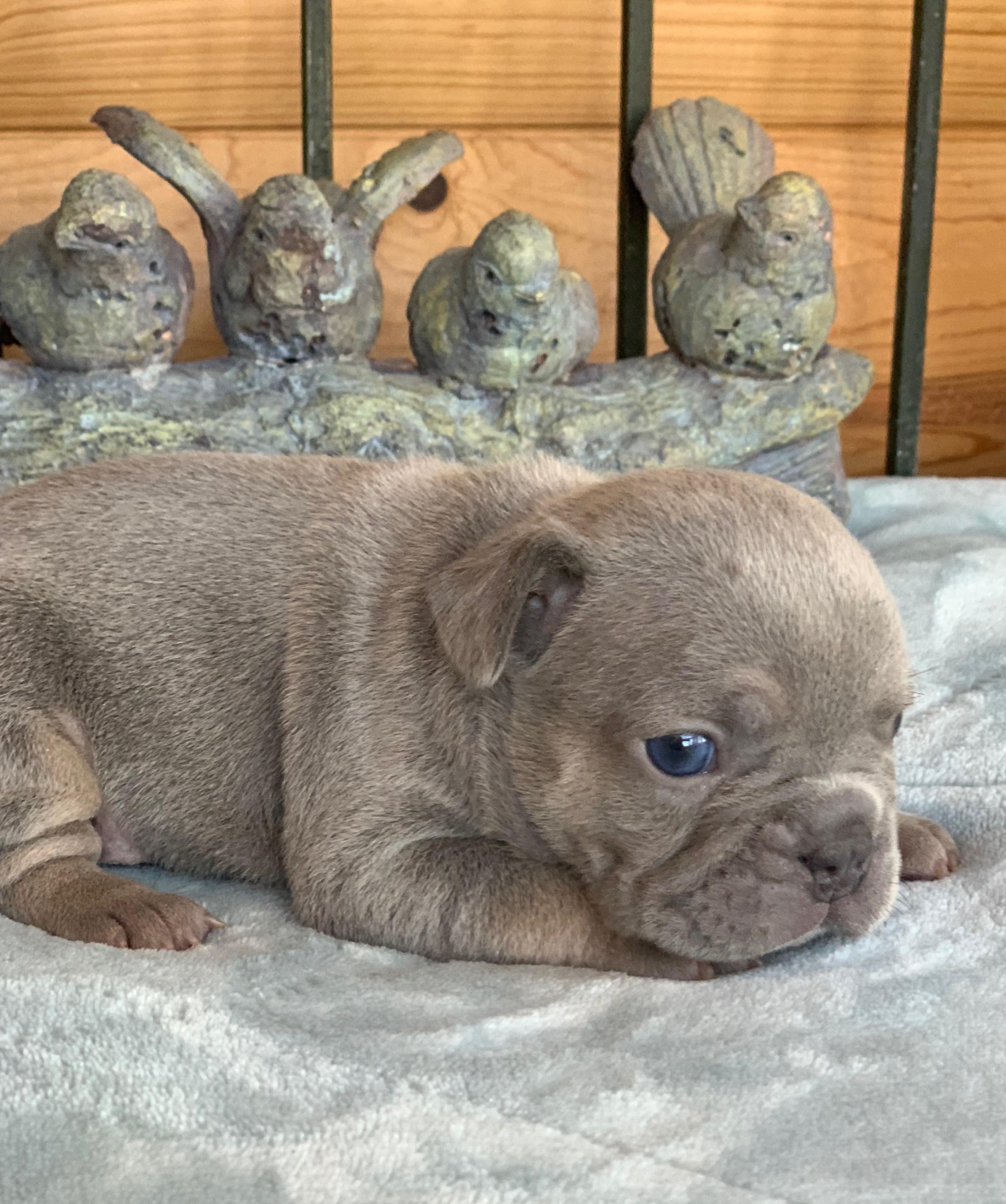 Felix Lilac French Bulldog Male