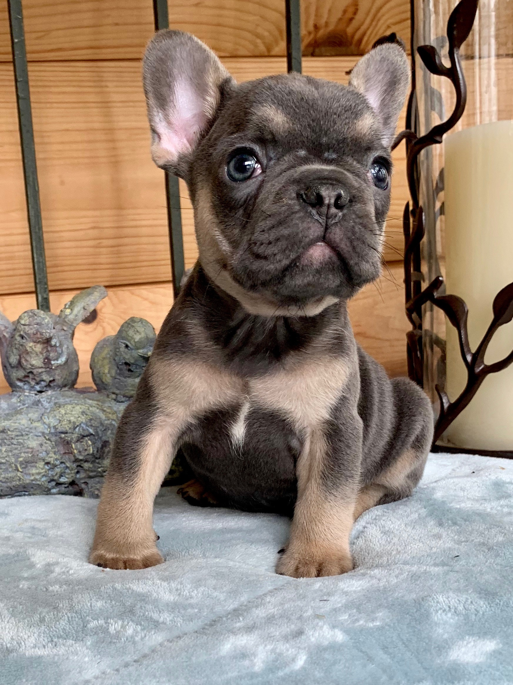 Hoagie Blue with Tan Points Male French Bulldog