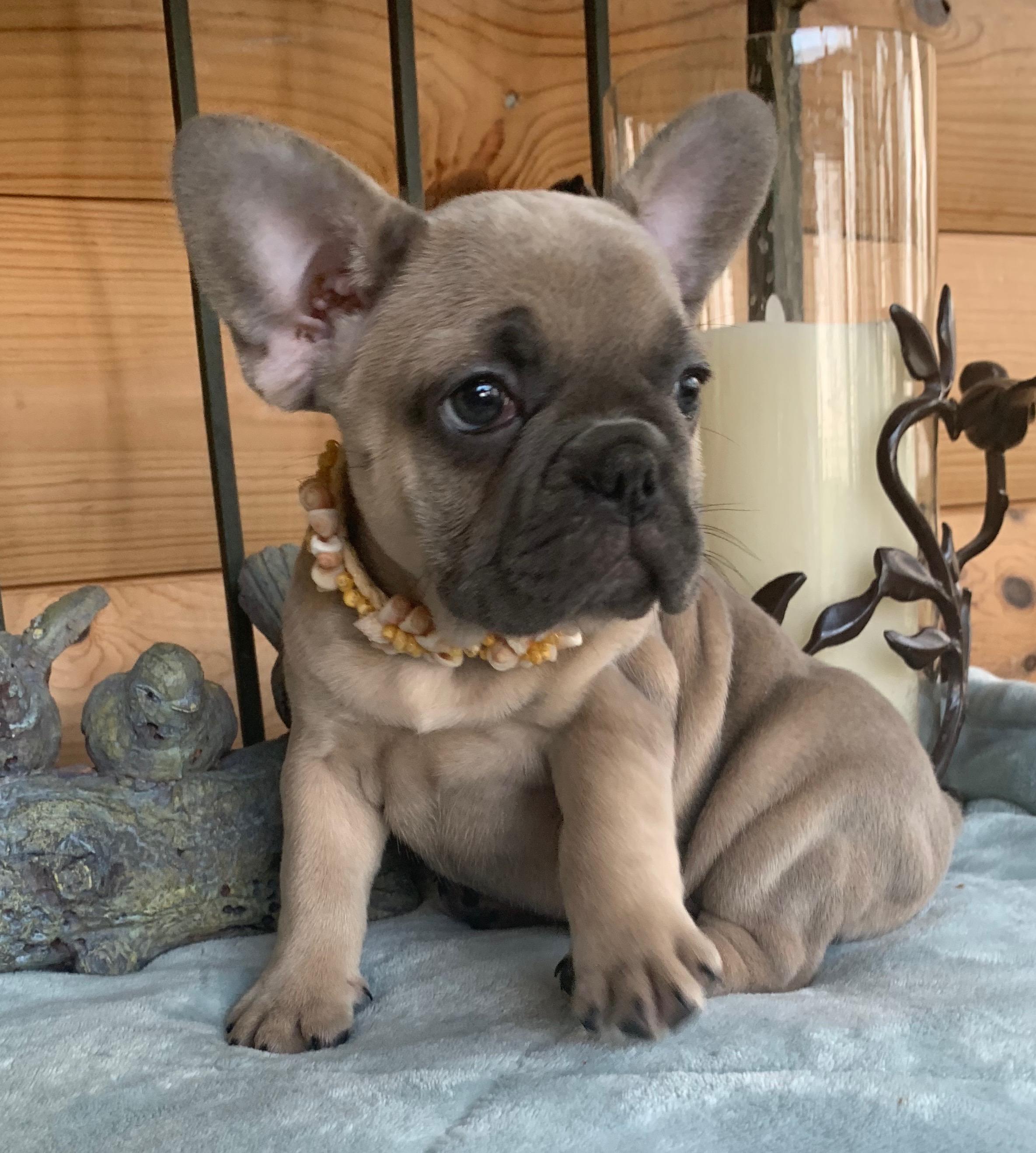 Isabelle Blue Fawn Female French Bulldog