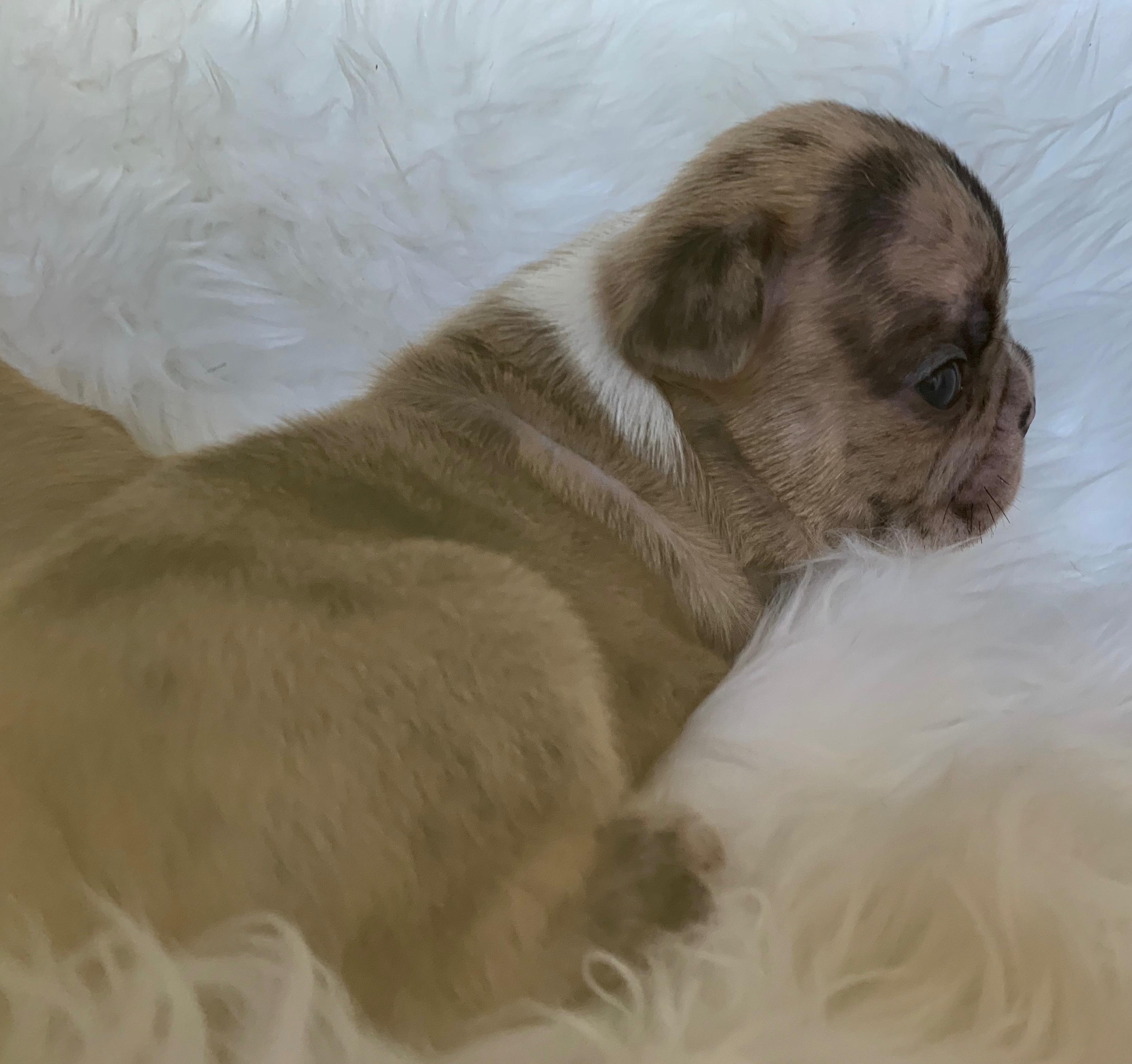 Percy Fawn Merle French Bulldog Male