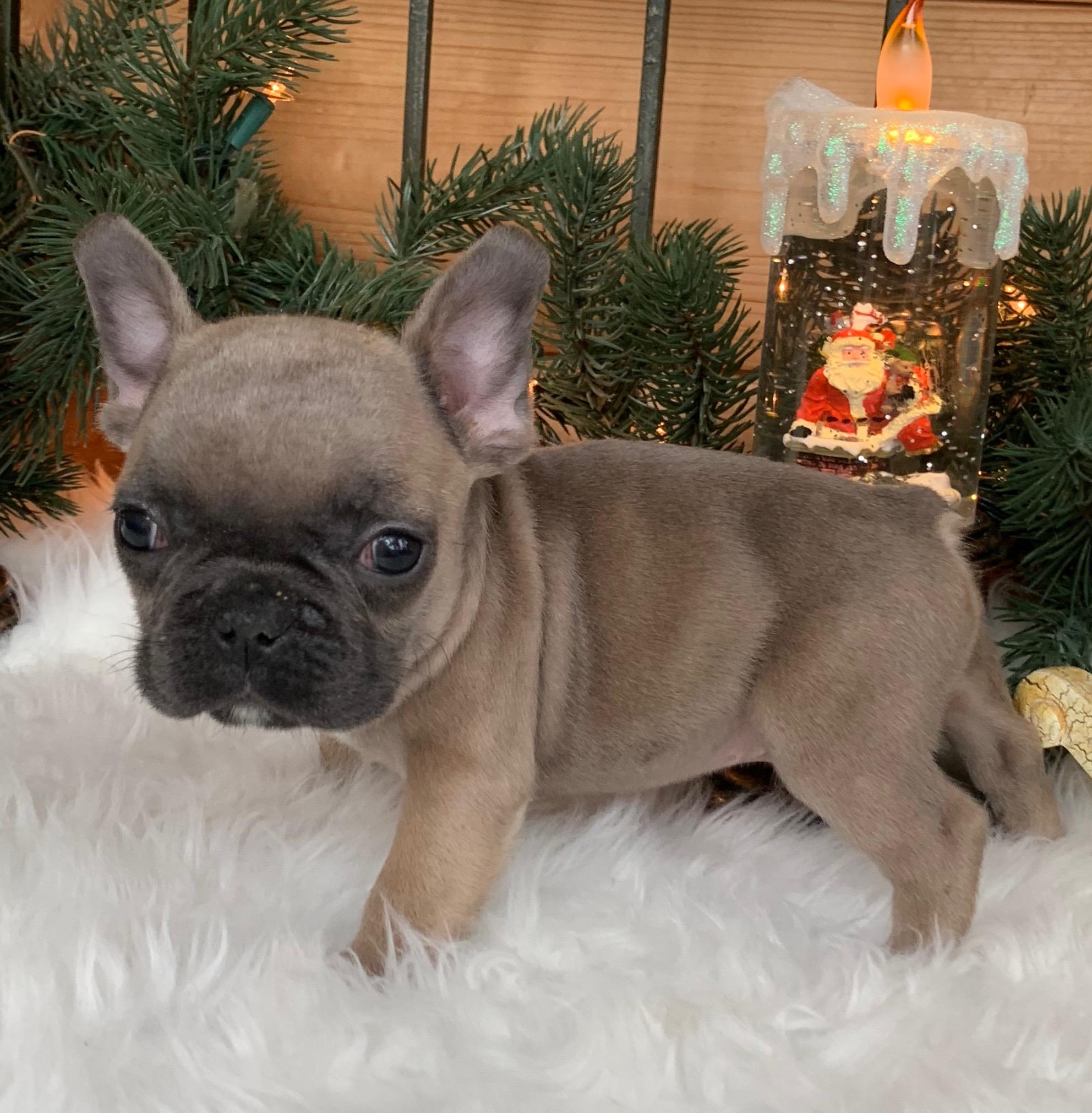 Blue Fawn Male French Bulldog: Wyatt