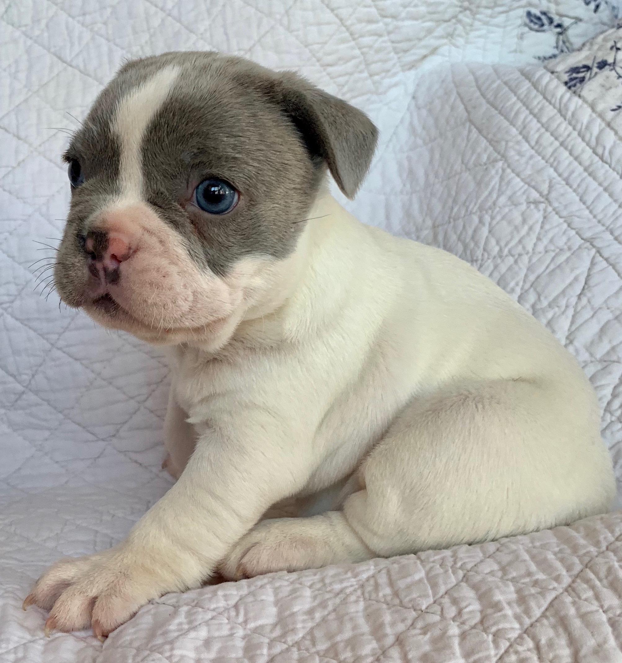 Queenie Lilac Pied French Bulldog Female