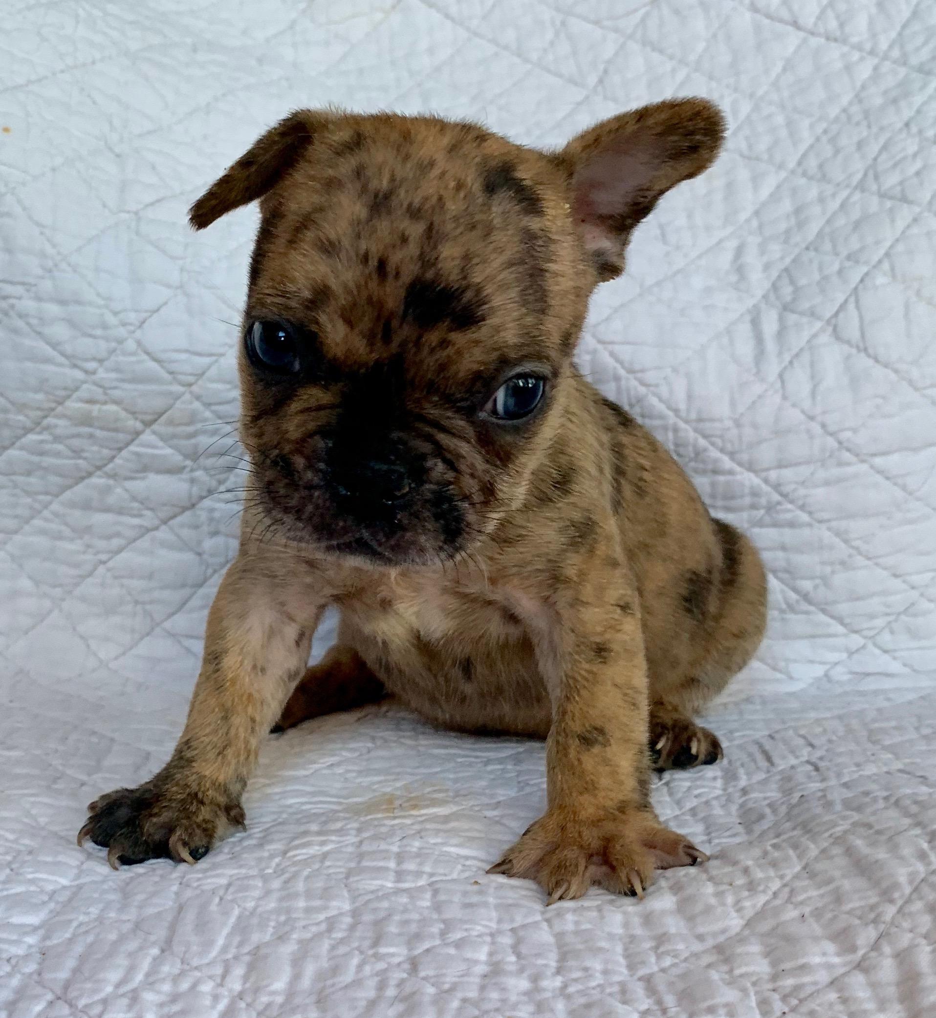 Polo Fawn Merle French Bulldog Male