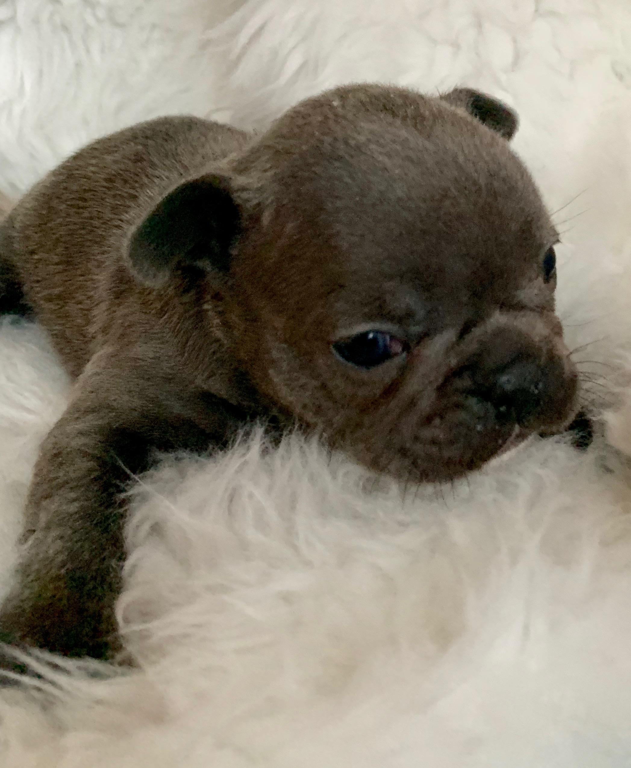 Blue Female French Bulldog: Yasmin