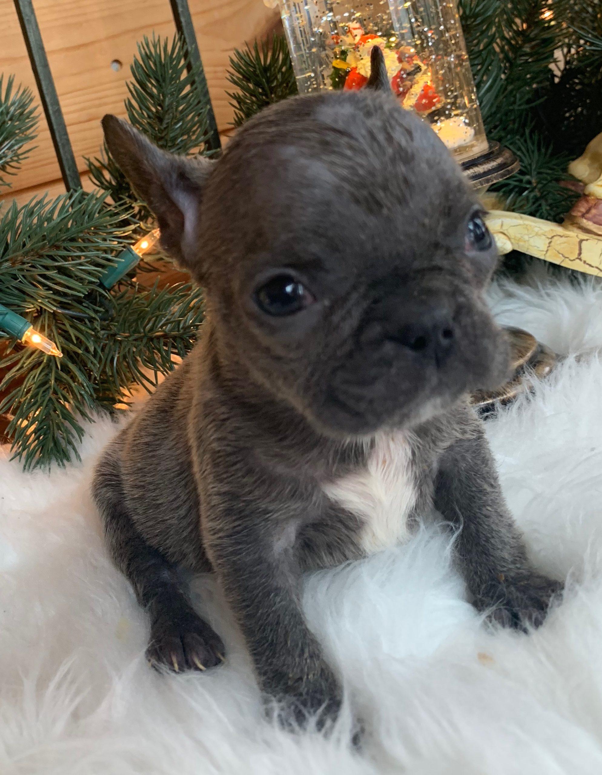 Blue French Bulldog Female: Yvette