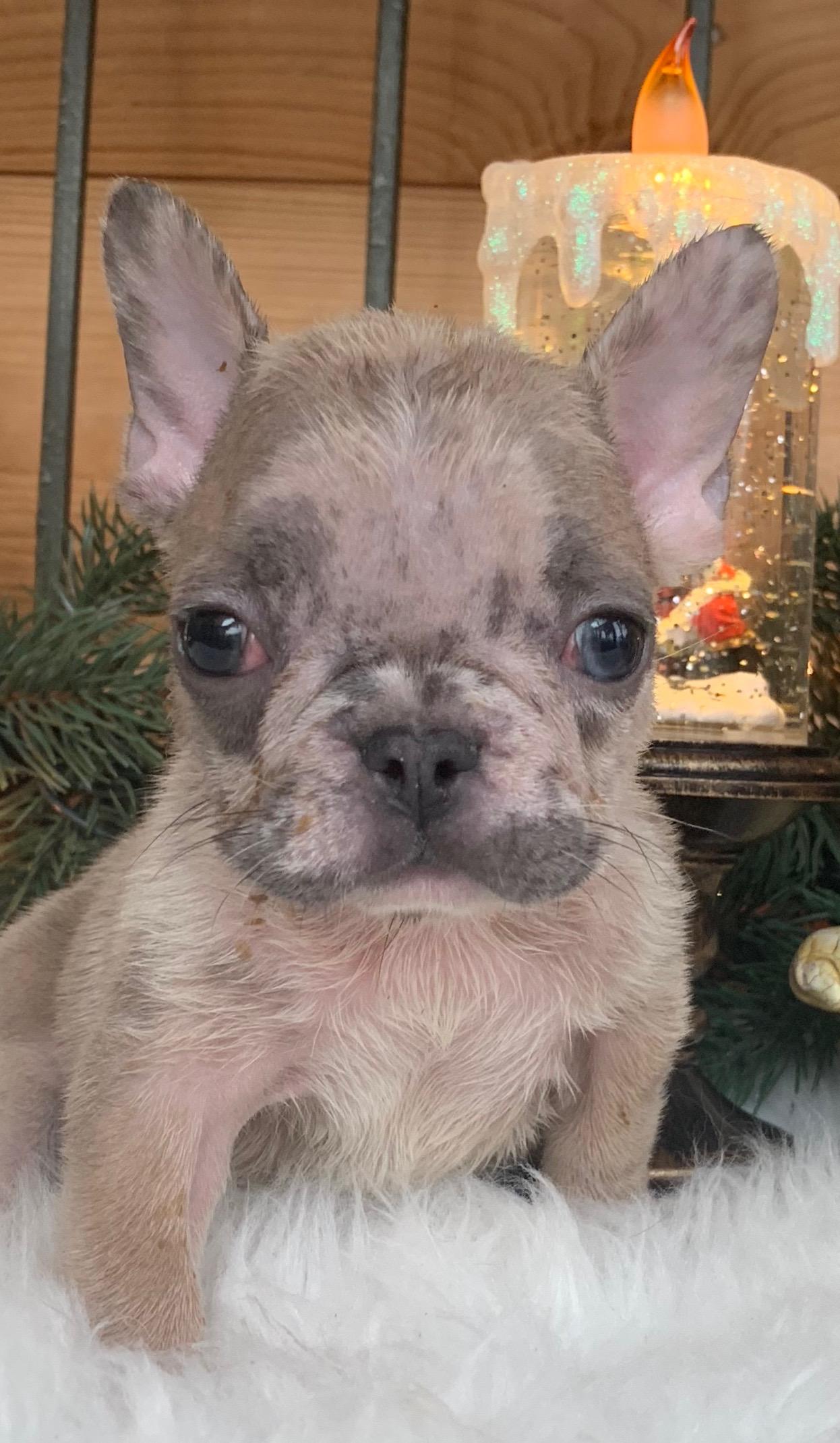 Fawn Merle Female French Bulldog: Yana