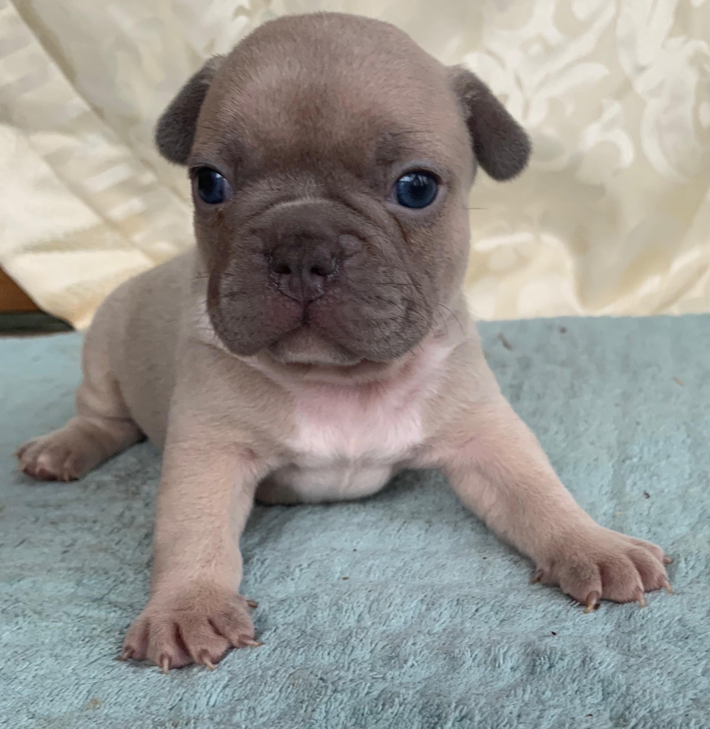 Lilac Fawn Male French Bulldog: Giovanni