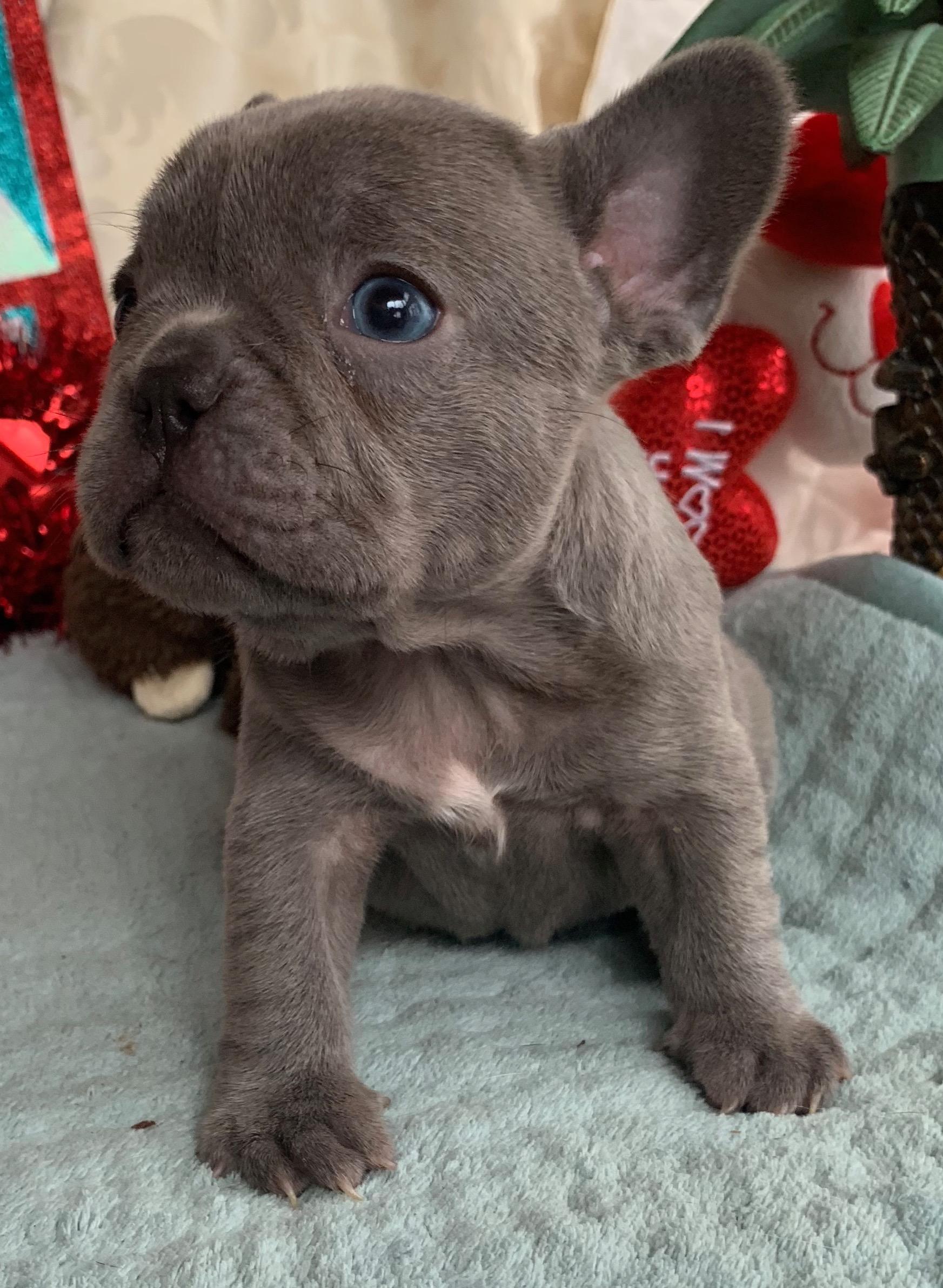 Lilac Female French Bulldog: Gianna