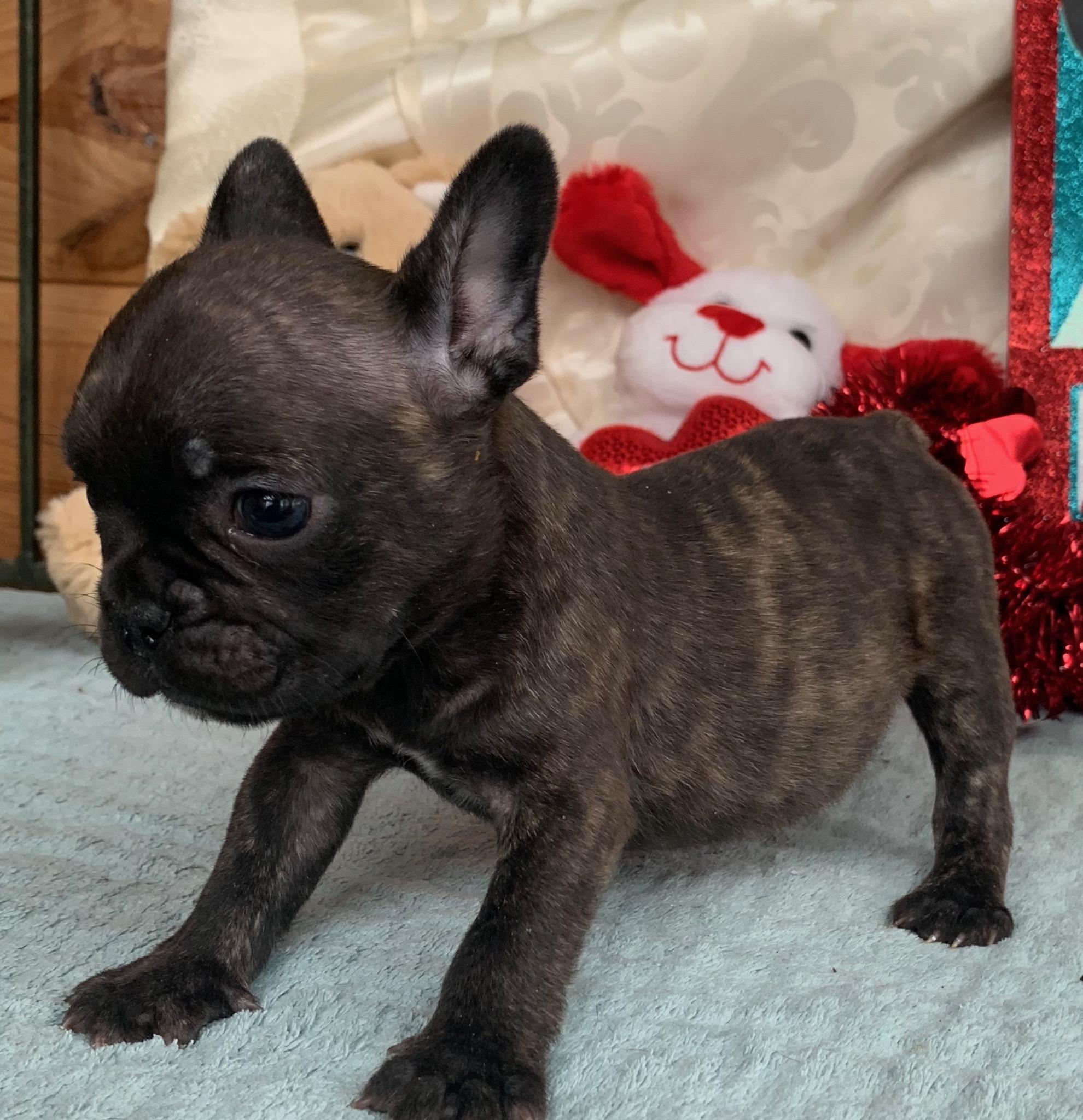 Deposit Brindle Female French Bulldog: Hattie