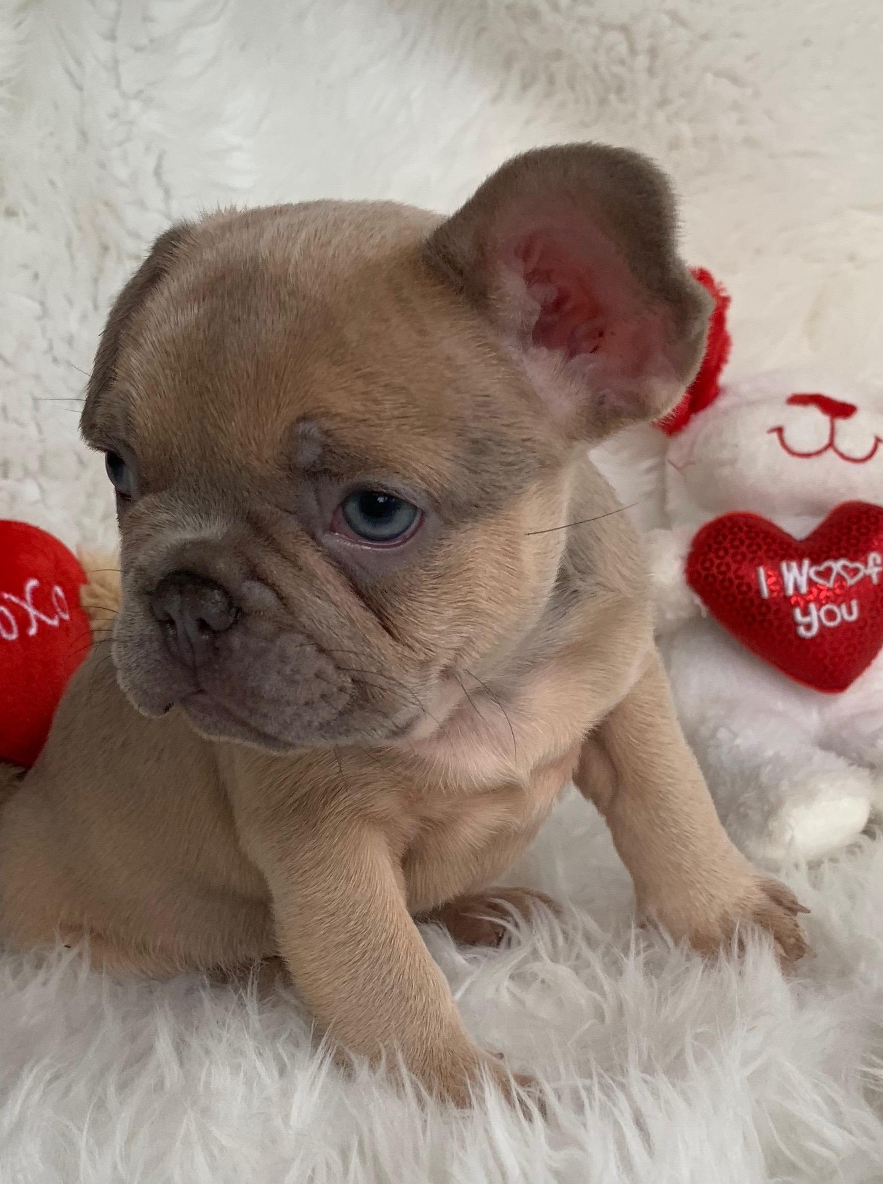 Lilac Fawn French Bulldog Male: Grayson