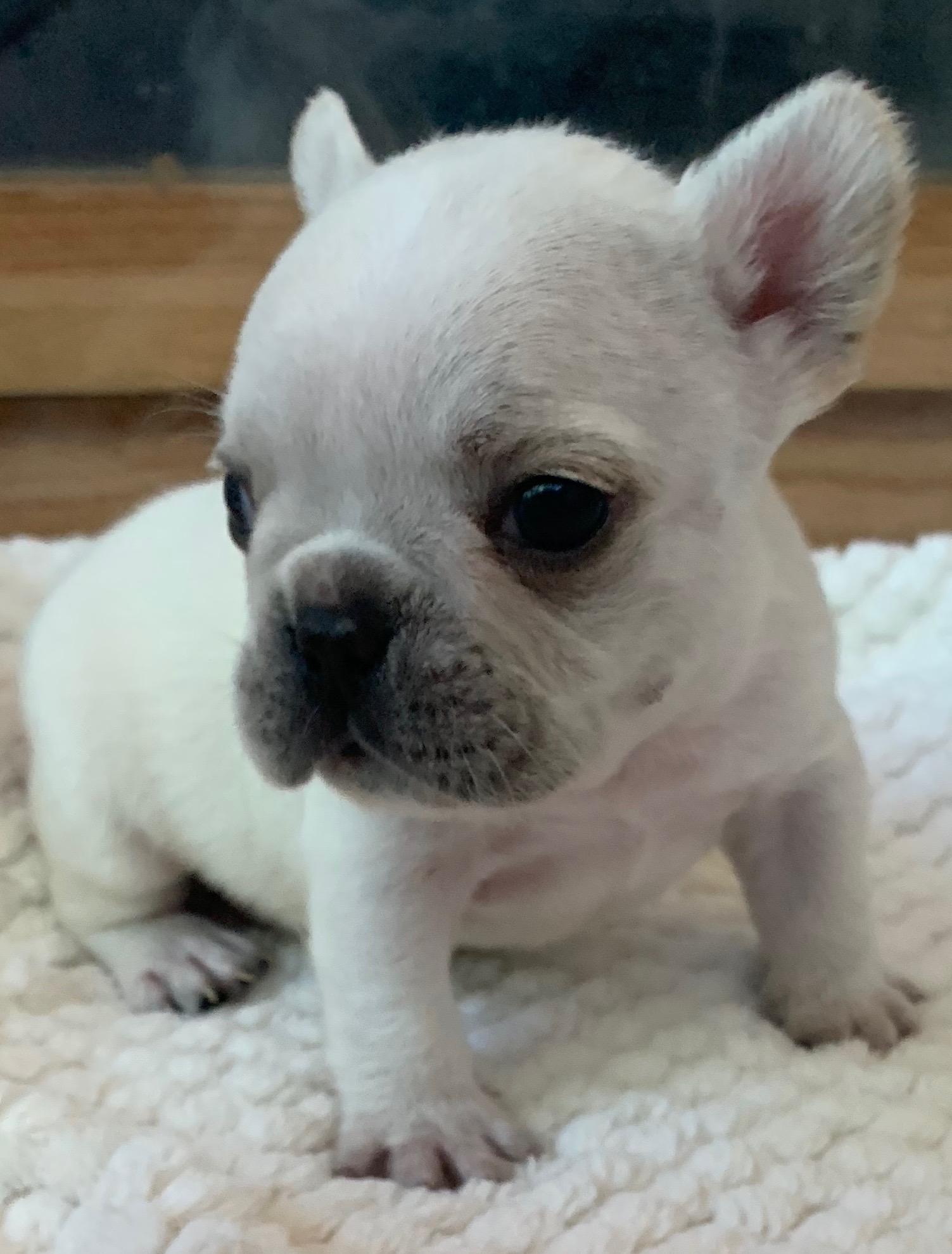 Cream French Bulldog Male: Vance
