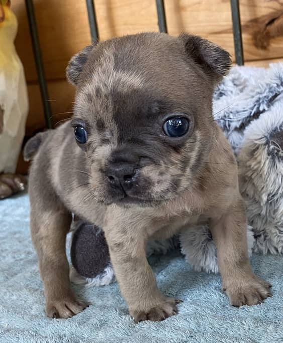 Blue Fawn Merle Male French Bulldog: Uriah