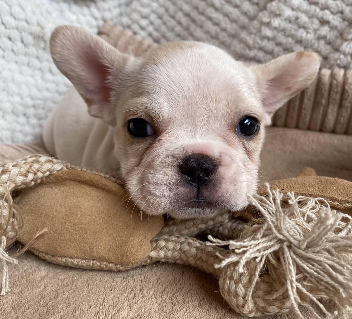 Cream Female French Bulldog: Violet