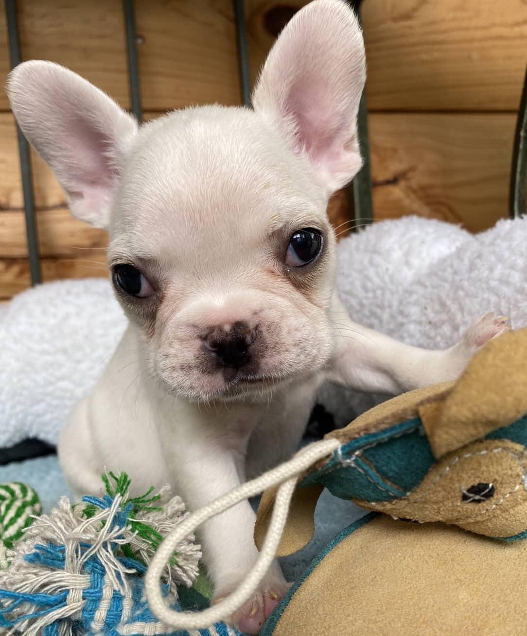Cream Male French Bulldog: Valentino