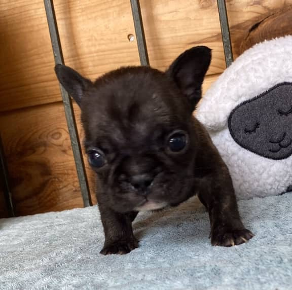 Standard Color French Bulldog Puppies-AKC Grand-Champion Sired