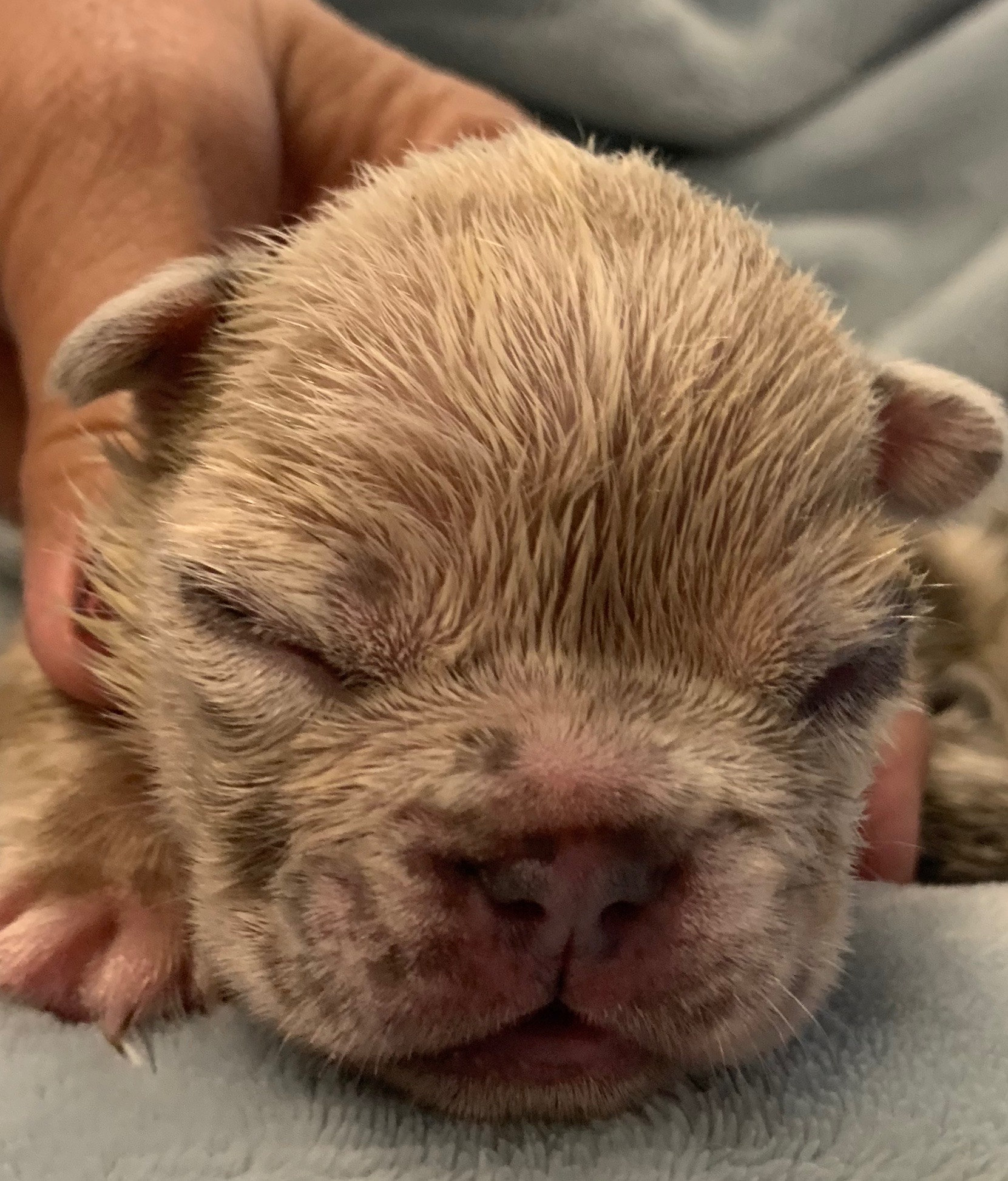 Upcoming Blue and Merle French Bulldog Litter: July 22, 2020
