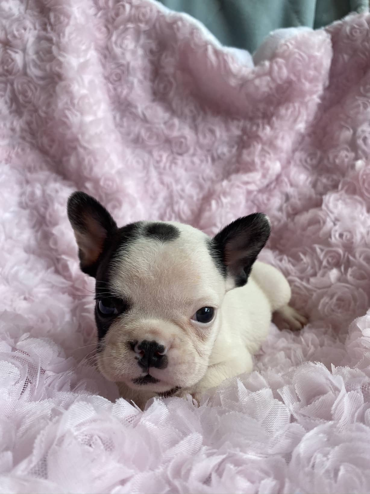 Brindle Pied Female French Bulldog: Bella-SOLD