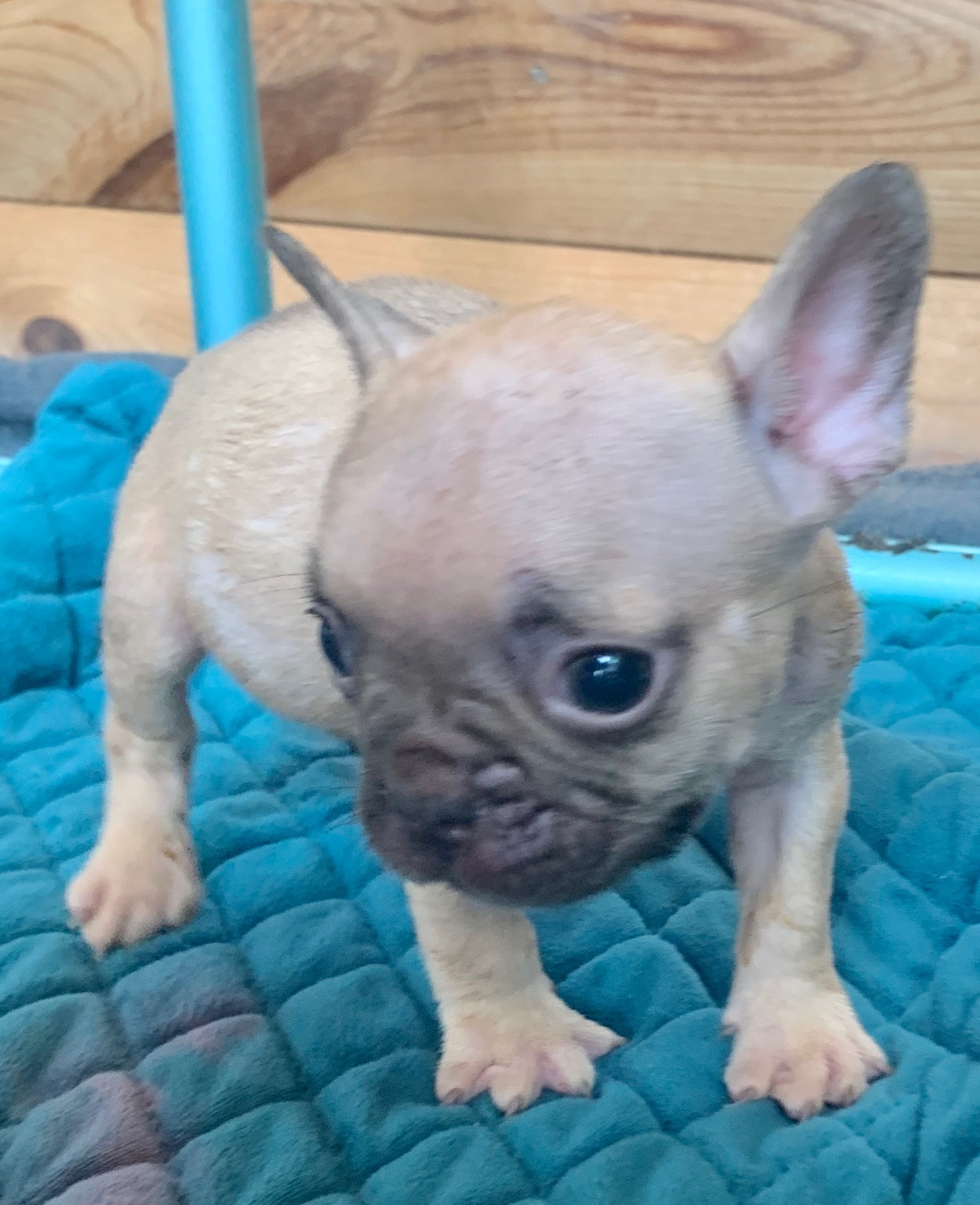 Blue Fawn Male French Bulldog: Axel-SOLD-1041