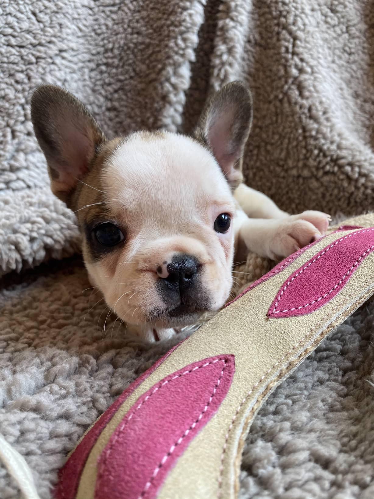 Fawn Pied Female French Bulldog: Dottie
