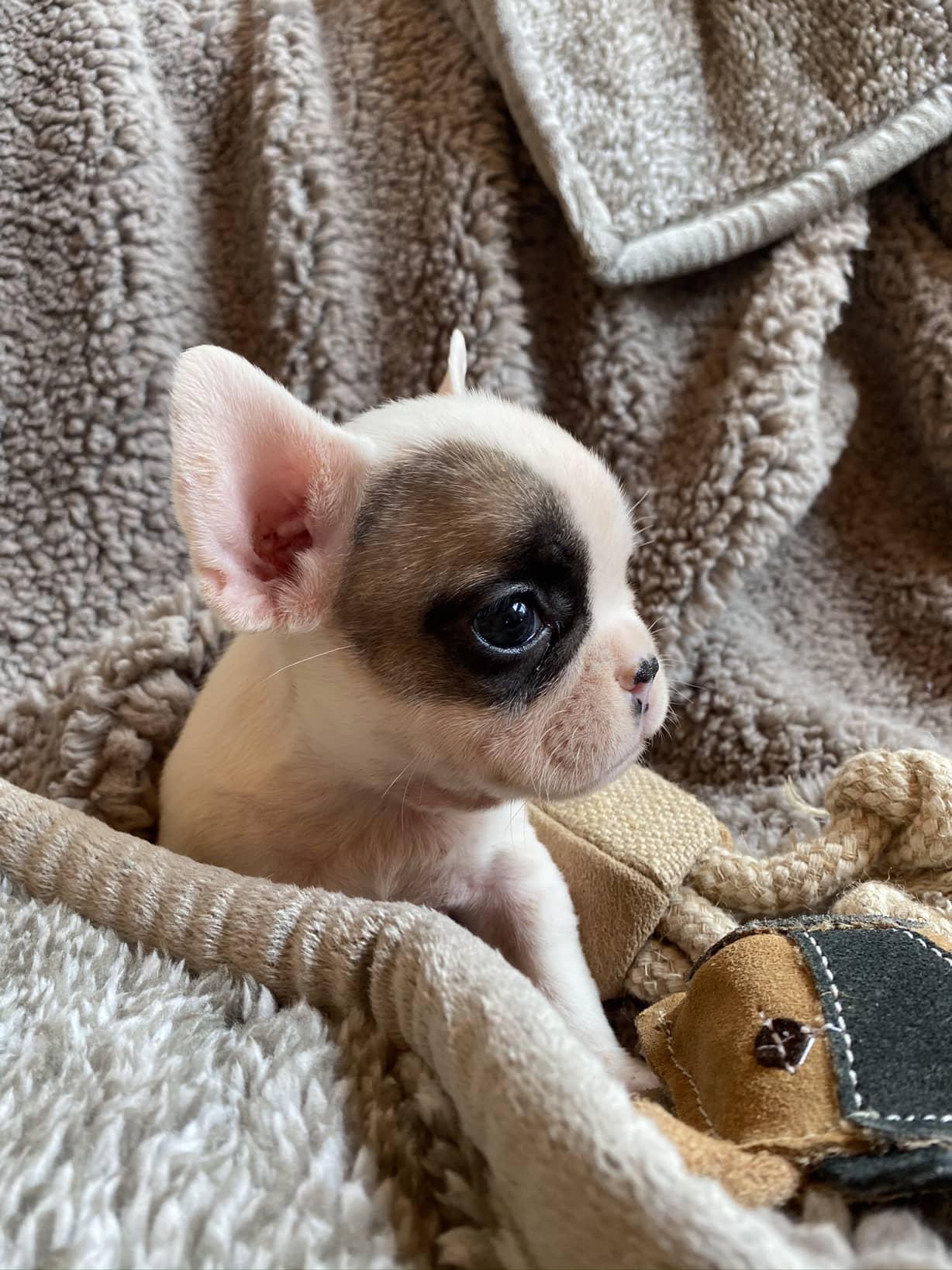 Fawn Pied Female French Bulldog: Della