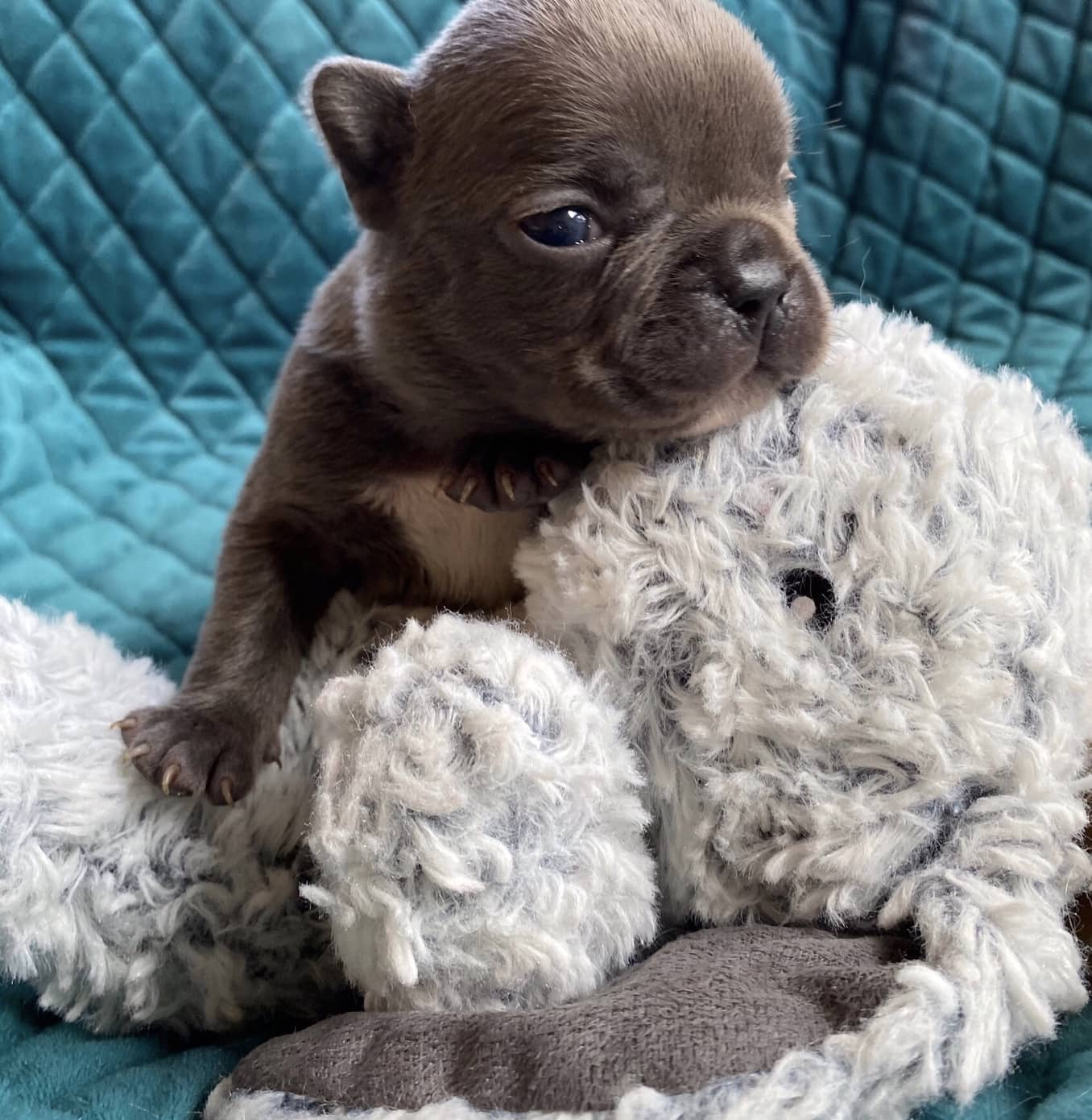 Litter of Blue & Blue Merle French bulldog puppies
