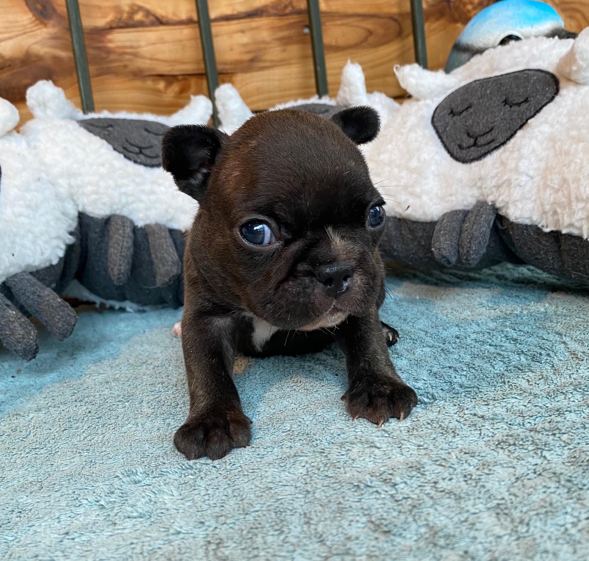 Brindle Female French Bulldog: Nala