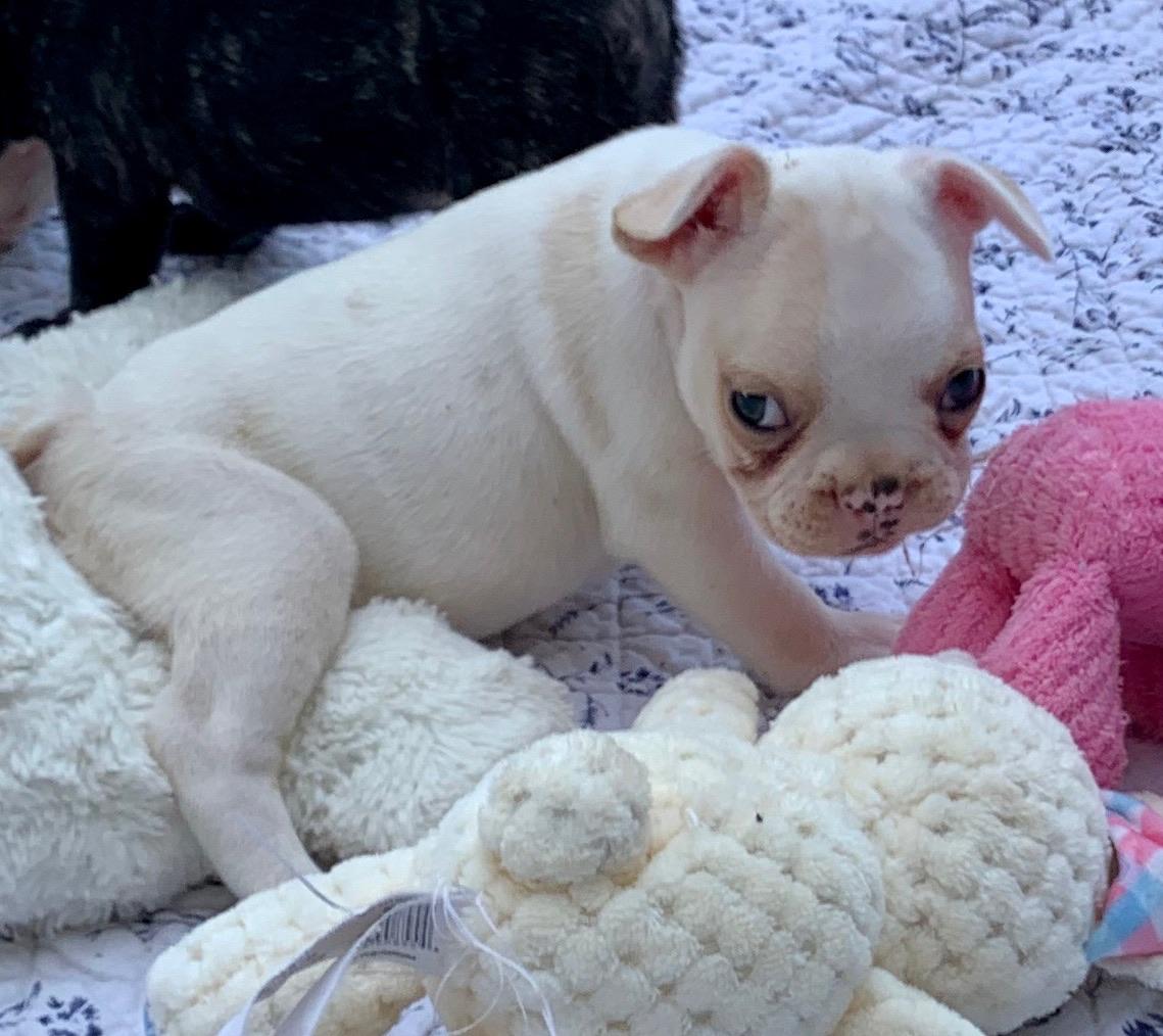 Cream Female French Bulldog: Nikkita