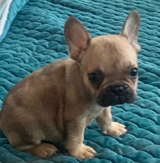Fawn Male French Bulldog : 2454- Sold