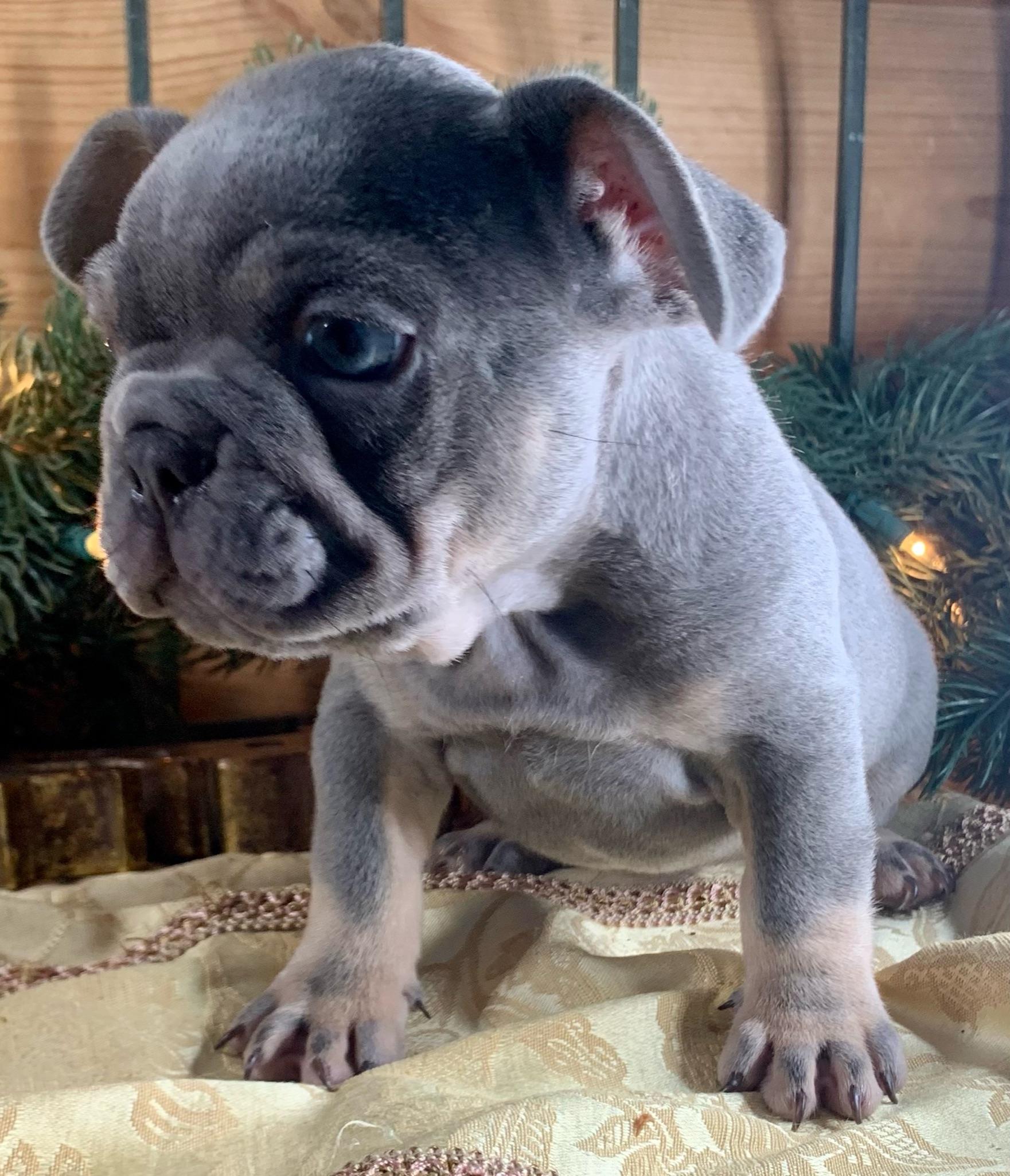 Lilac Male French Bulldog: Wilkens- 2079