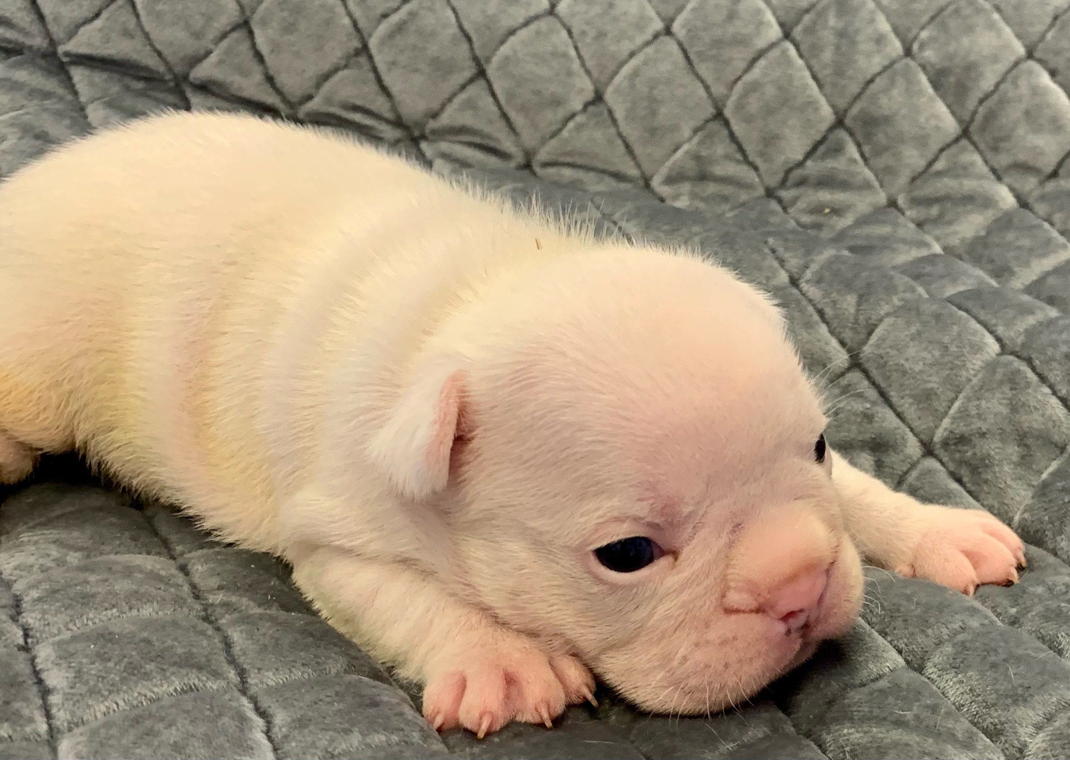 Extreme Pied/White Male French Bulldog: Kramer-2160