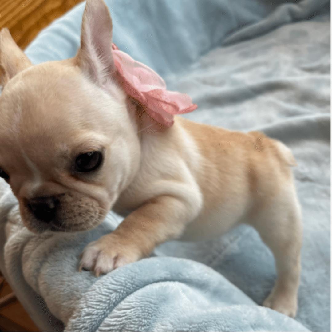 Cream Female French Bulldog: Juicy -4878