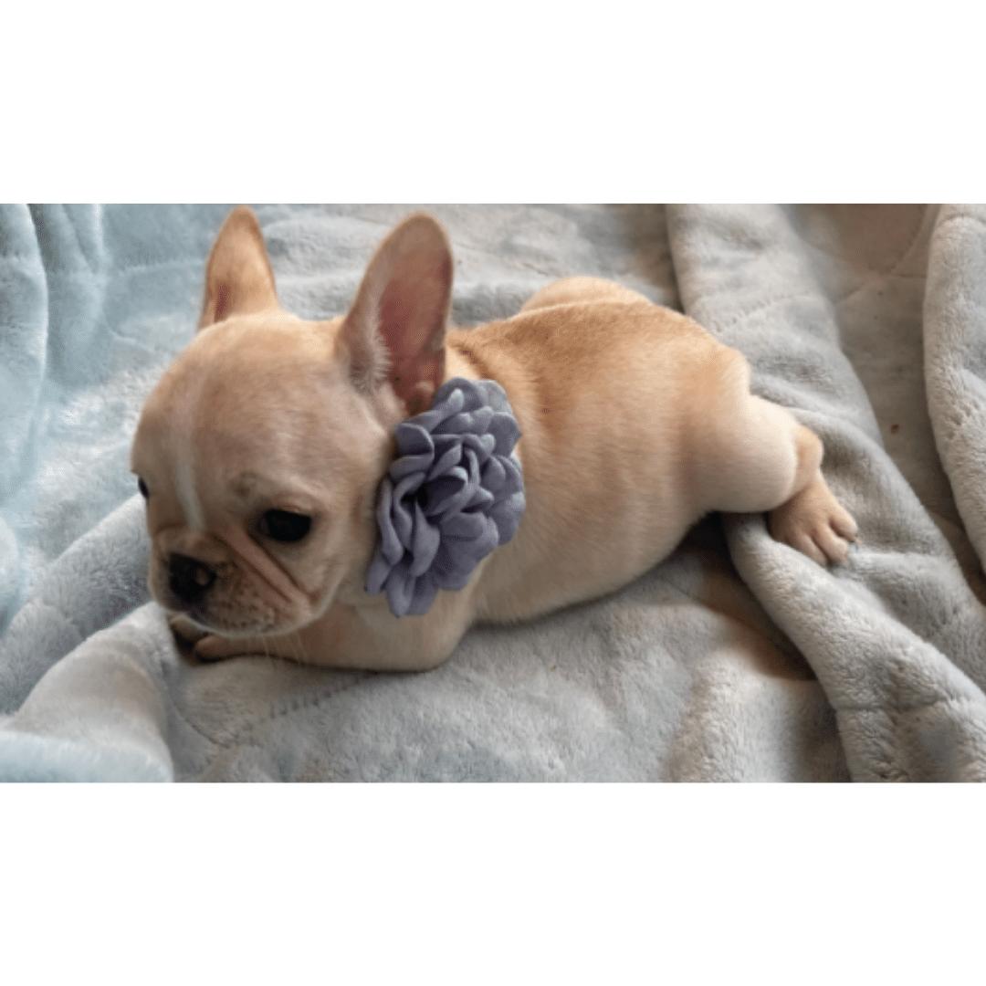 Cream Female French Bulldog: Jo Jo -2477
