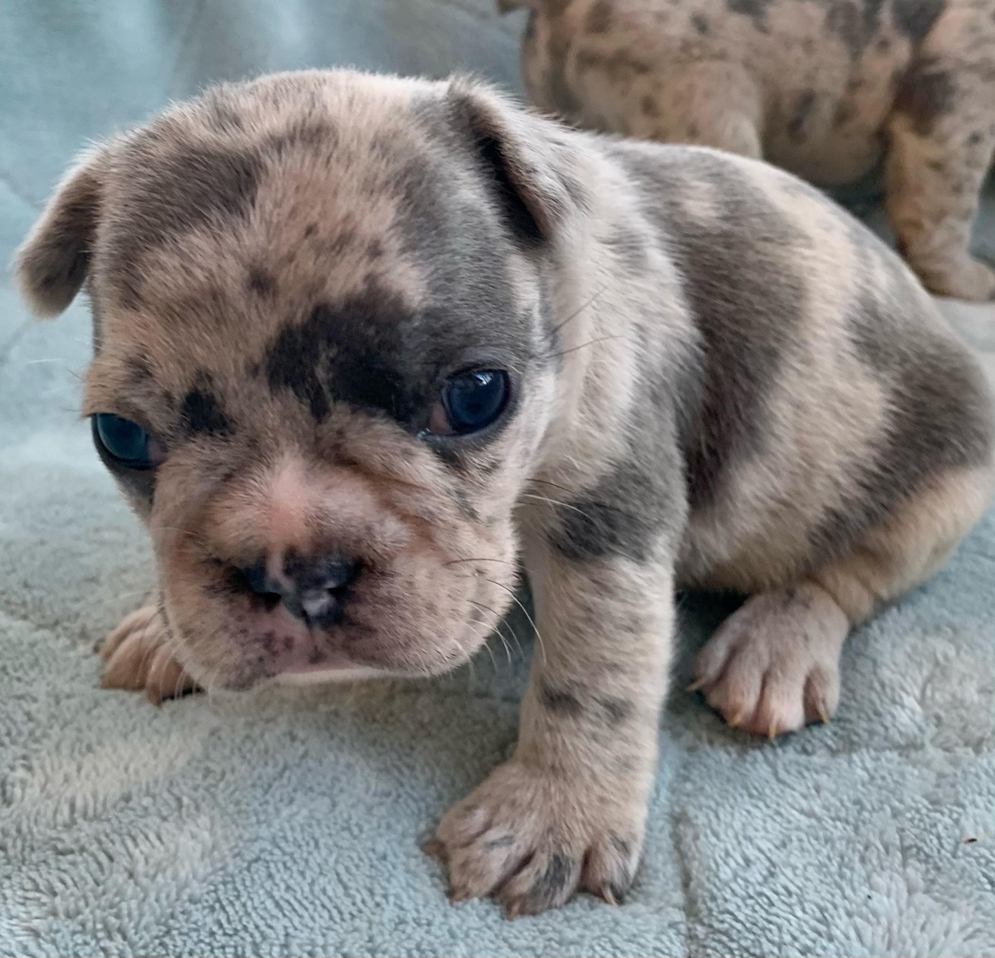 Blue Merle Female French Bulldog: Kimchi-2023-Sold