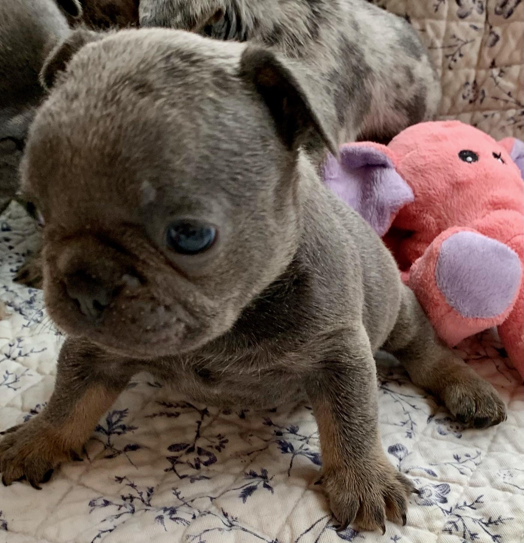 Blue Male French Bulldog: Lugnut-5406-Sold