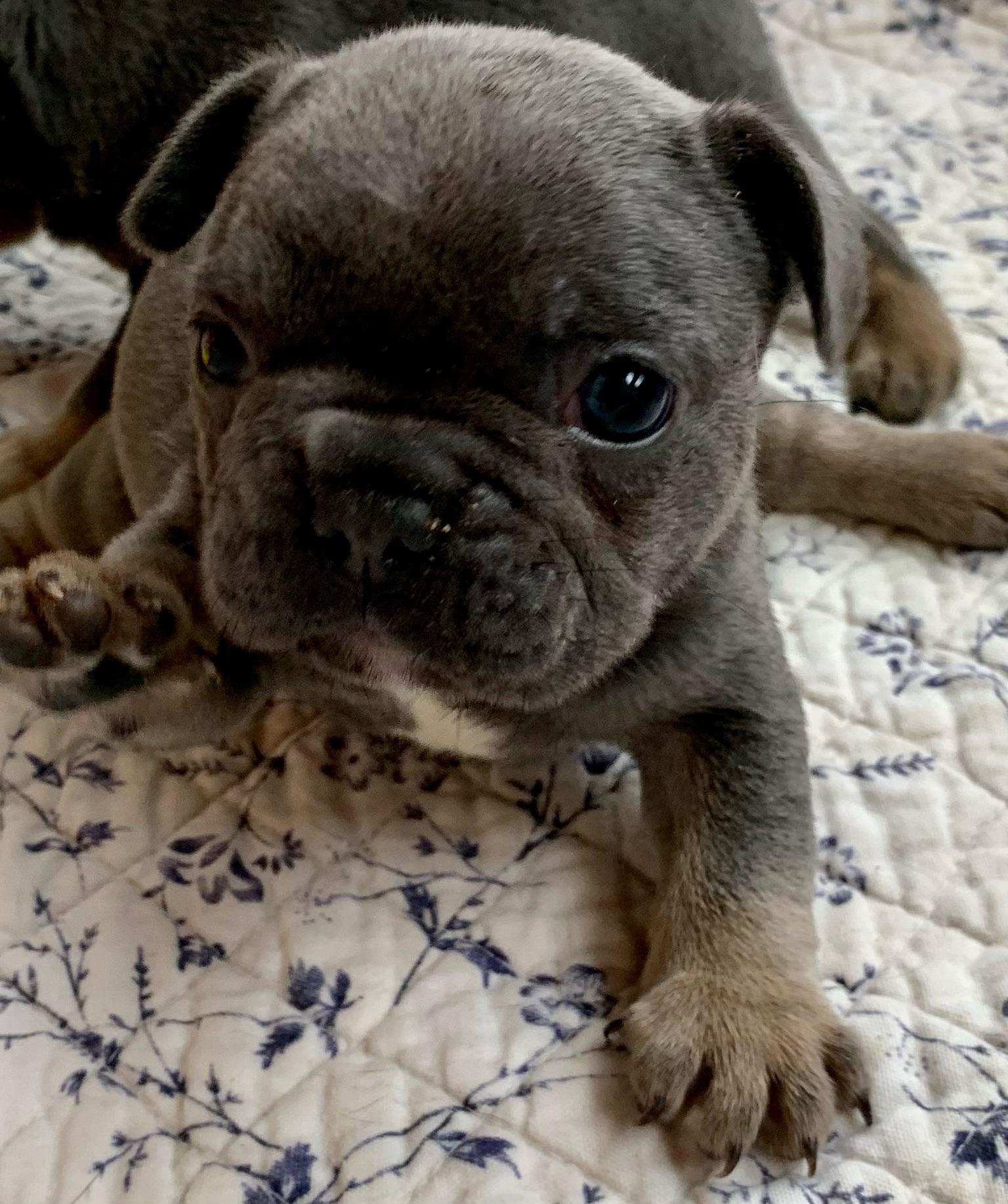 Blue Male French Bulldog: Legend-2397-Sold