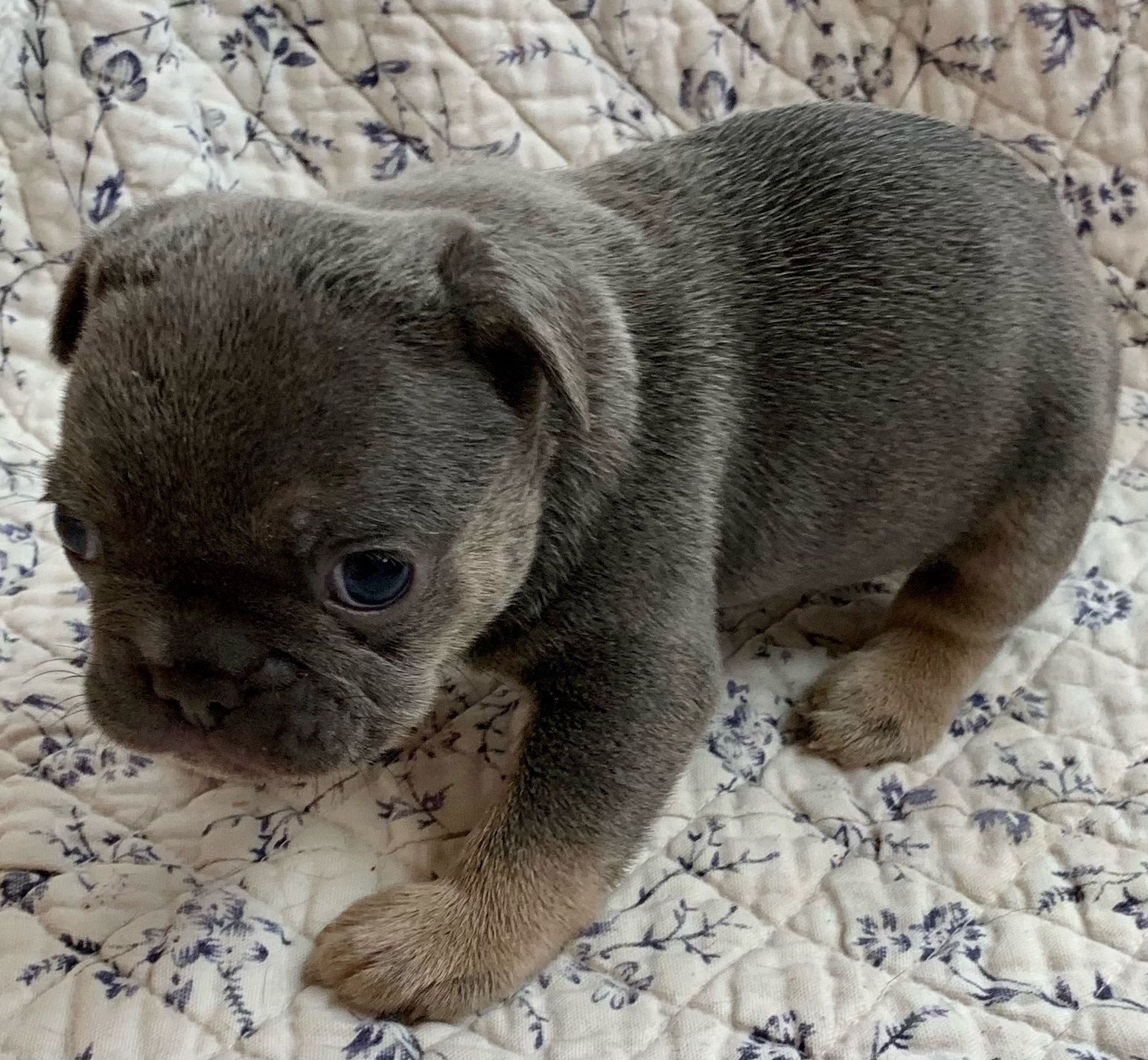 Blue Male French Bulldog: Loki-2116-Sold